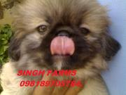 PEKIGNESE PUPS FOR SALE. WITH KCI PAPERS. TOP  SHOW QUALITY PUPS.