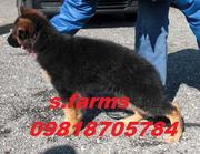 GERMAN SHEPARD PUPS FOR SALE.IMPORT CHAMPION PARENTAGE.KCI PAPERS.