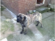 ENGLISH MASTIFF PUPS FOR SALE. IMPORT CHAMPION PARENTS. KCI PAPERS.