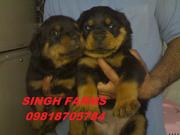 ROTTWEILER PUPS FOR SALE.IMPORT CHAMPION PARENTAGE.KCI PAPERS.