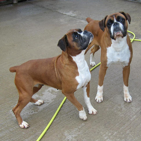 Boxer Pups For Sale Import Champion Parentage Kci Papers