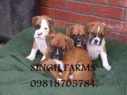 BOXER PUPS FOR SALE. IMPORT CHAMPION PARENTAGE.KCI PAPERS.