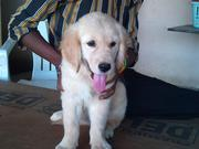 Golden Retriever puppy for sale (FEMALE)