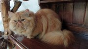 Beautiful flat face Persian kittens for sale