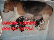 BEAGLE PUPS FOR SALE. IMPORT CHAMPION PARENTS. KCI PAPERS.