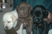 HEALTHY LABRADOR PUPPIES FOR SALE 