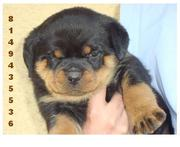 ROTT WEILERS PUPS FOR SALE