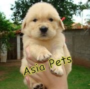 GOLDEN RETRIEVER   Puppies  For Sale  ® 9911293906
