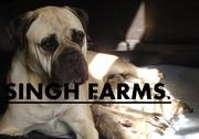 BULL MASTIFF PUPS FOR SALE.IMPORT CHAMPION PARENTAGE.KCI PAPERS.