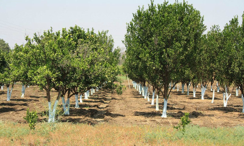 orange agriculture in india