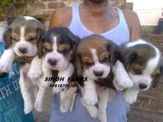 Beagle pups for sale.Import champion parents.Ultimate quality. kci reg