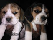 Beagle pups for sale.Import champion parents. Kci papers & micro-chip.