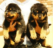 Rottweiler pups 4 sale. top specimen ultimate quality. kci regd & chip
