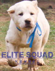 Central Asian Shepherd puppies for sale - ludhiana - Elite Sq