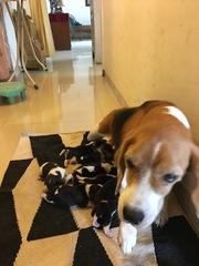 Beagle pups of KCI registered parents