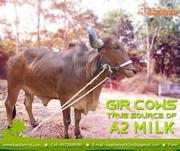 Organic Milk Delivery Pune,  Gir cows milk Pune,  Gir cows A2 milk Pune
