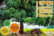 Buy Fresh Organic Alphonso Mango