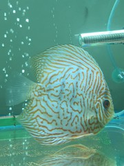 Breeding Size Discus Fish available