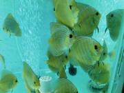 Discus fish in Pune & Pimpri Chinchwad.