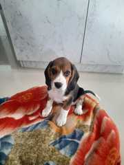 Male Beagle 75 days old.